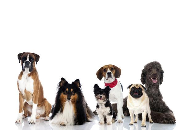 Healthiest Small Dog Breeds Uk